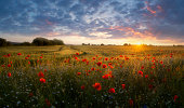 Landscape with poppies at sunset.