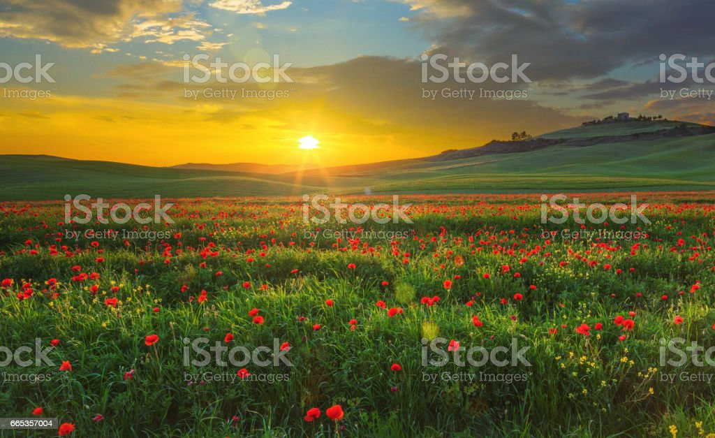 Landscape with poppies in Tuscany, Italy at sunset stock photo