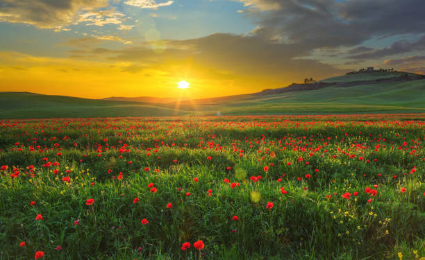 landscape with poppies in tuscany, italy at sunset - prateria campo foto e immagini stock