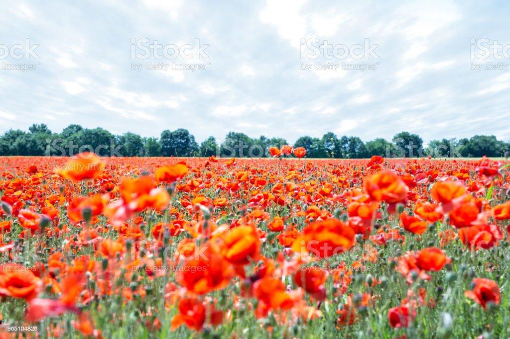 Landscape with poppies zbiór zdjęć royalty-free