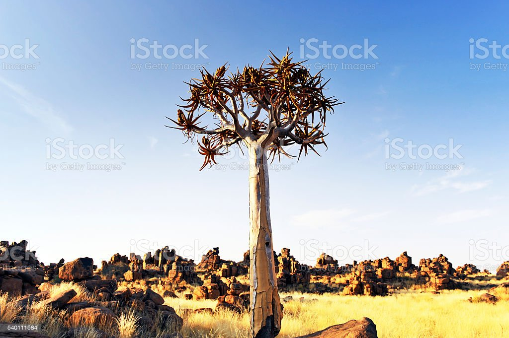Landscape with quiver tree in Keetmanshoop, Namibia stock photo