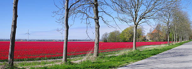Landscape with red tulips and trees in the Netherlands​​​ foto