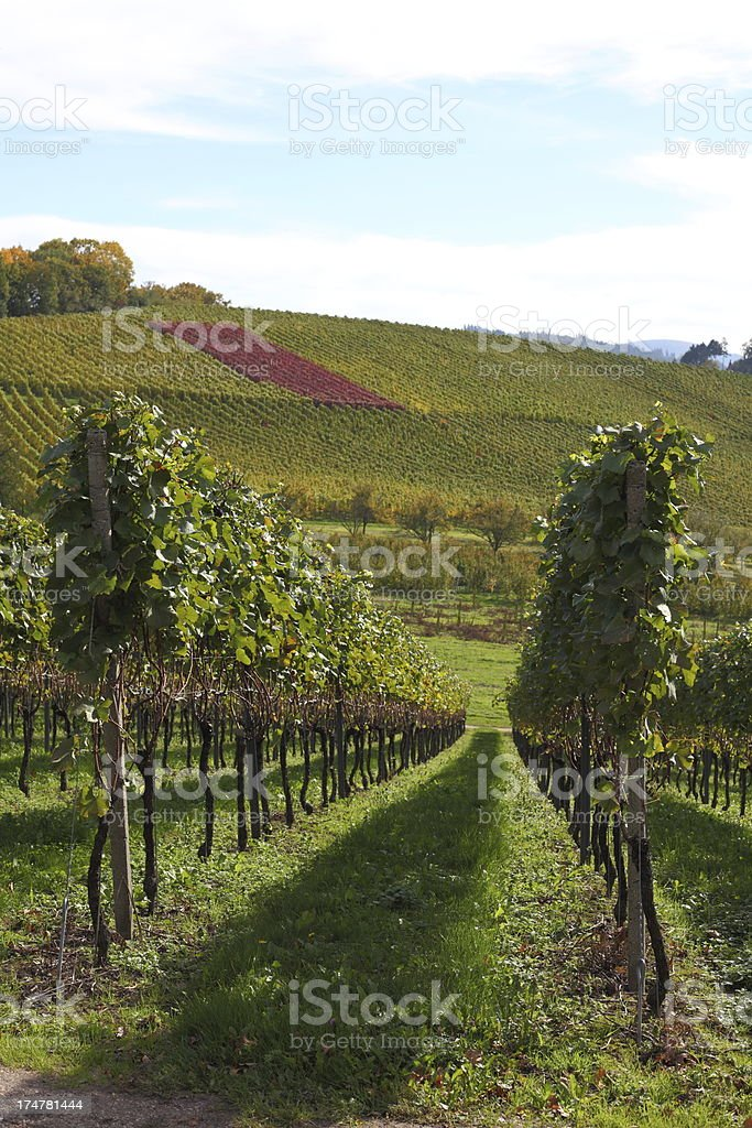 landscape with ripe grapes in fall Black Forest royalty-free stock photo