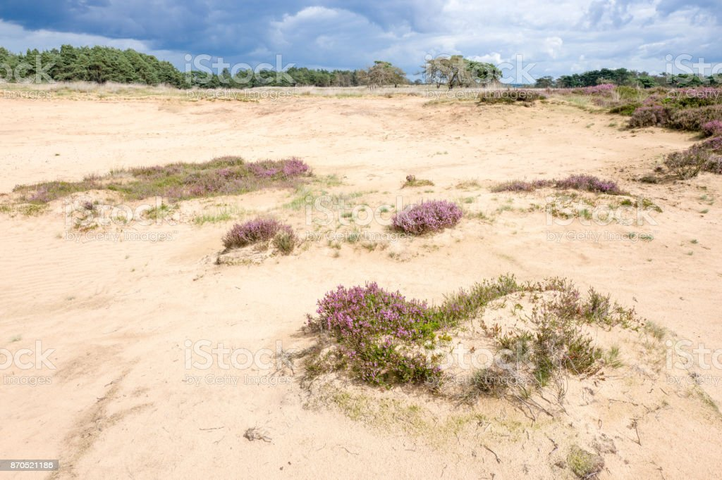 Landscape with sand and heath plants. stock photo