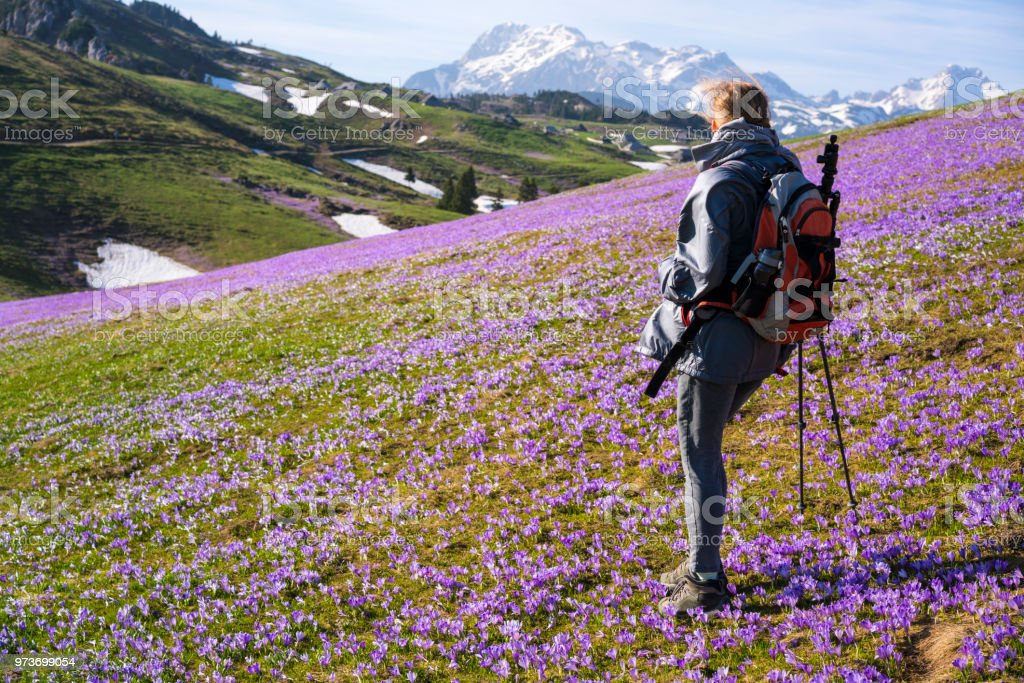 Landscape with senior woman on purple carpets of crocuses, saffron, green grass and tree with mountains and blue sky in background on plateau Velika Planina ...
