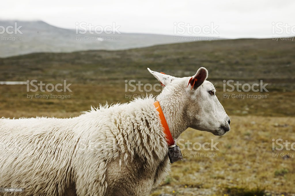 Landscape with sheep. royalty-free stock photo