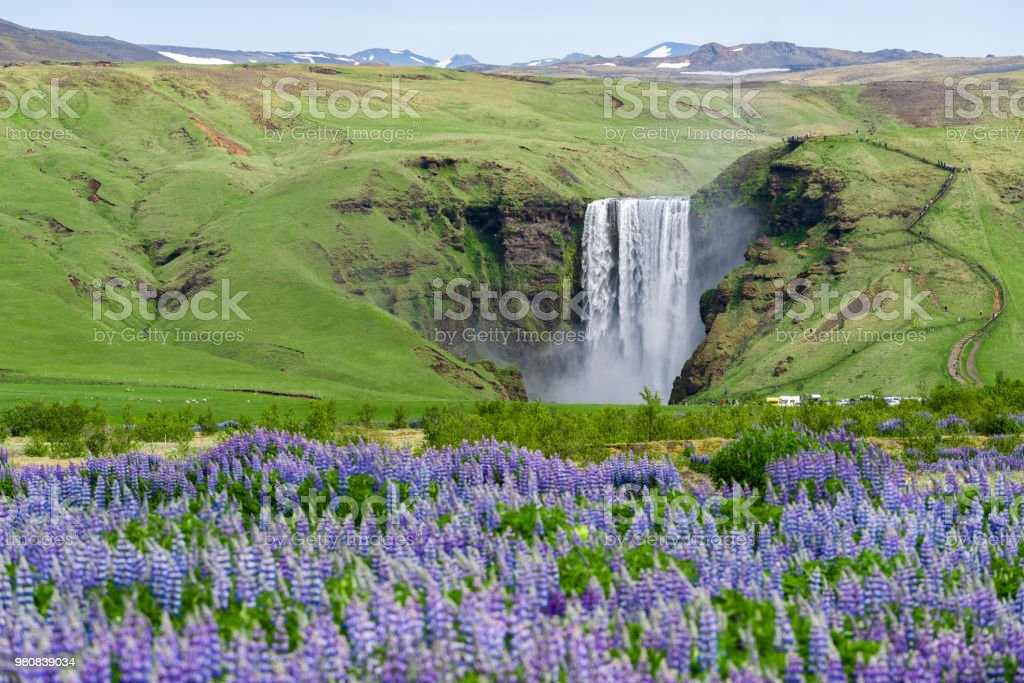 Skogafoss Waterfall, Iceland. Summer landscape with blooming lupines....