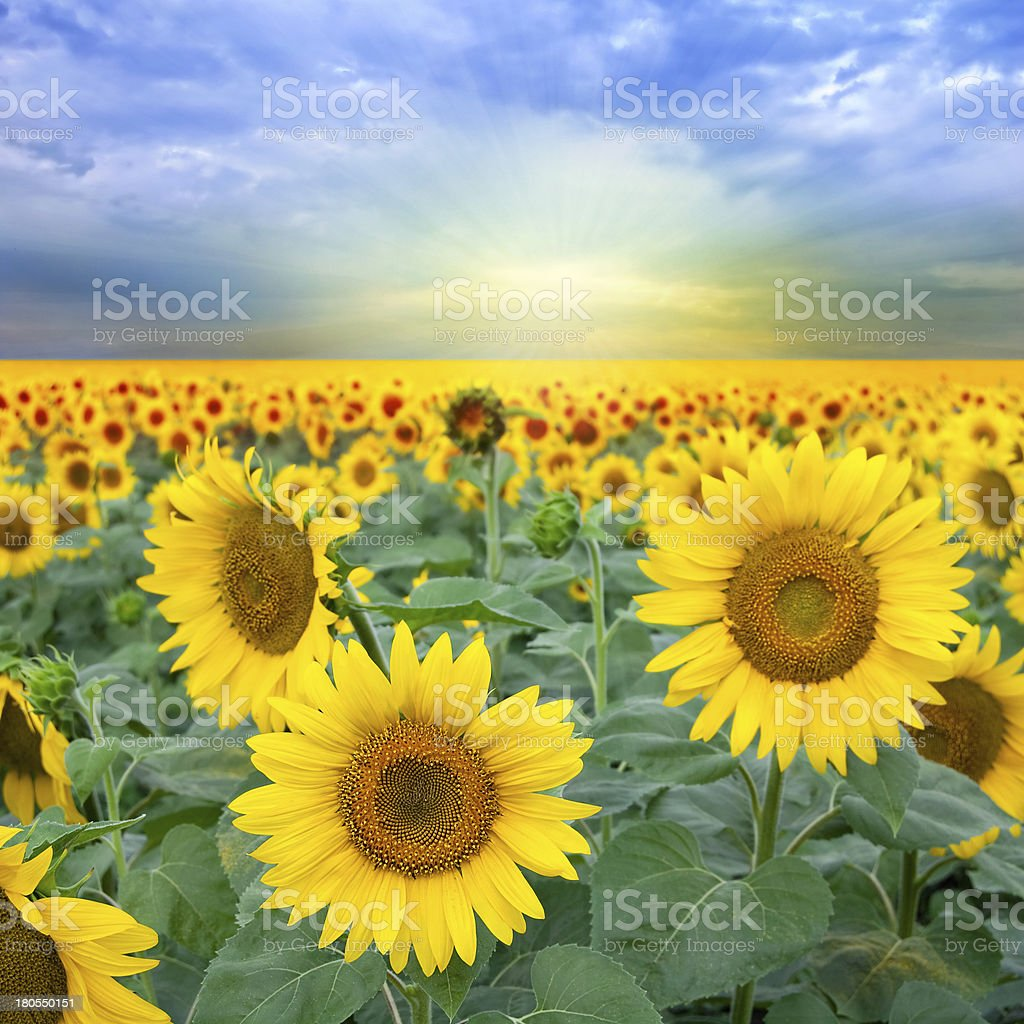 Landscape with sunflower royalty-free stock photo
