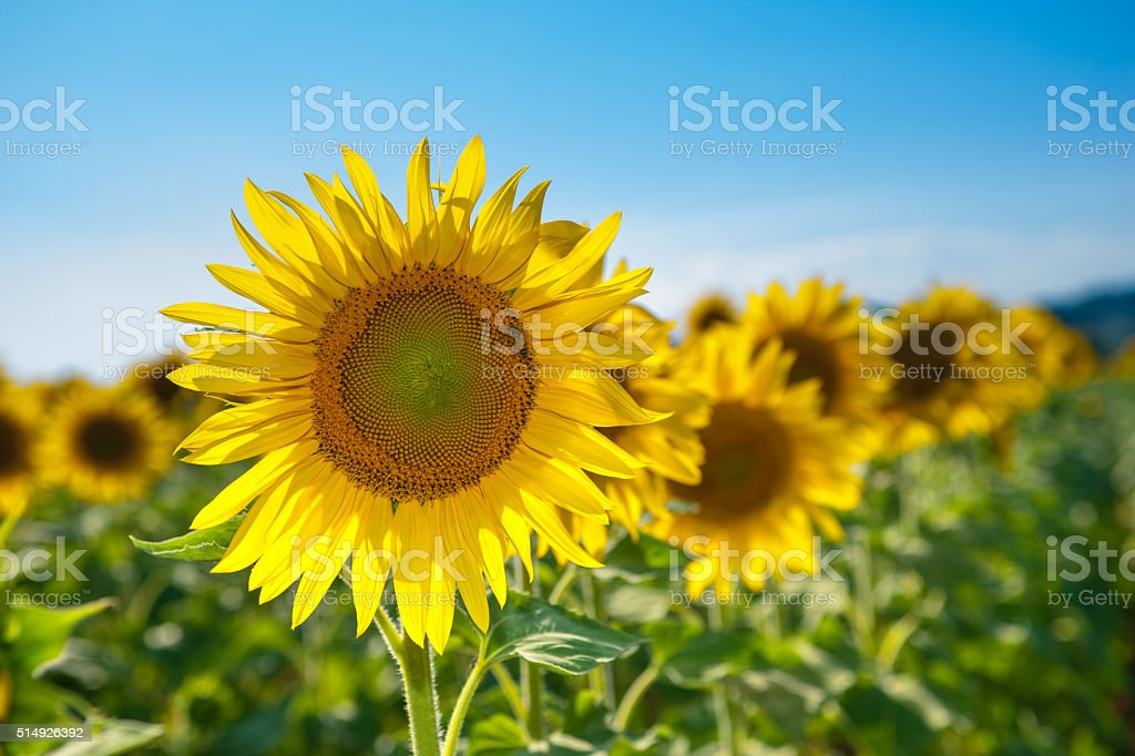 Landscape with sunflowers in summer stock photo