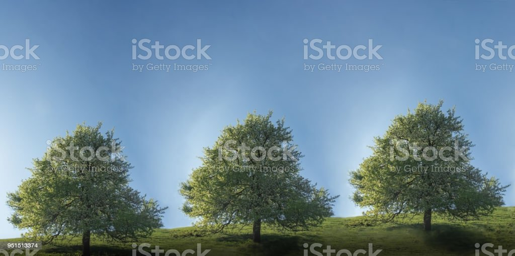 Landscape with three trees blooming in spring under the blue sky стоковое фото