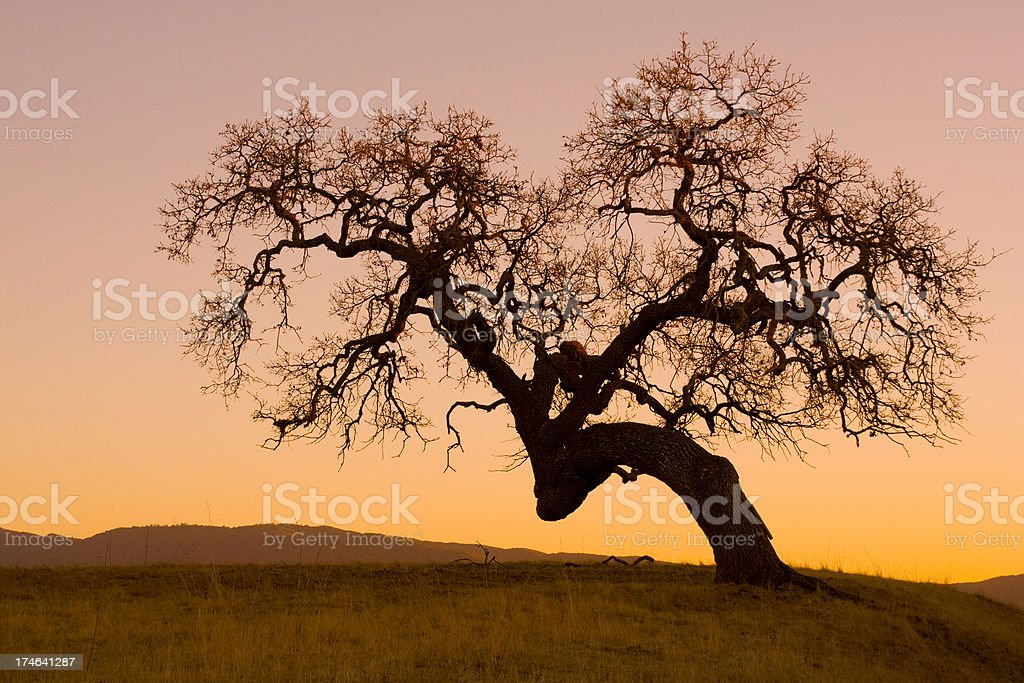 Landscape with twisted oak tree at sunset stock photo