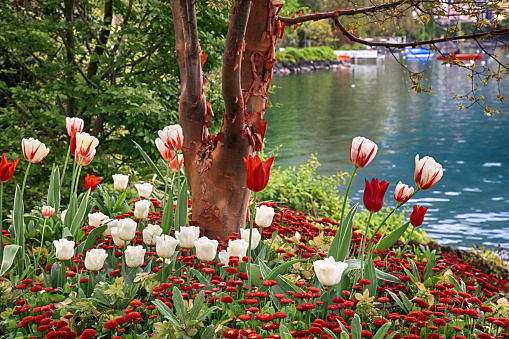 landscape with white and red tulips and other flowers and Lake Geneva, Montreux