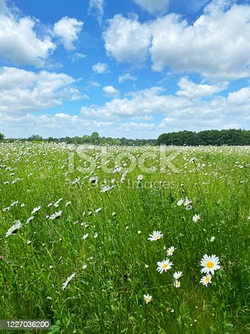 White daisies blooming in the field in springtime.