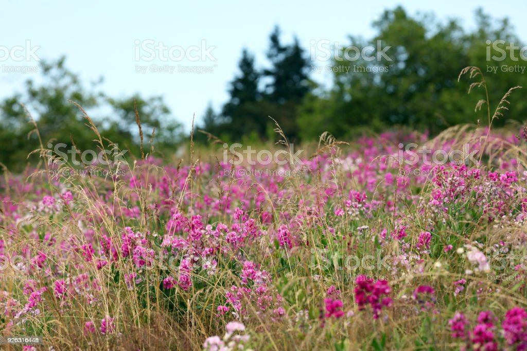 Landscape with wild pink sweet pea flowers and pine trees on a landscape with wild pink sweet pea flowers and pine trees on a background abstract nature photography mightylinksfo