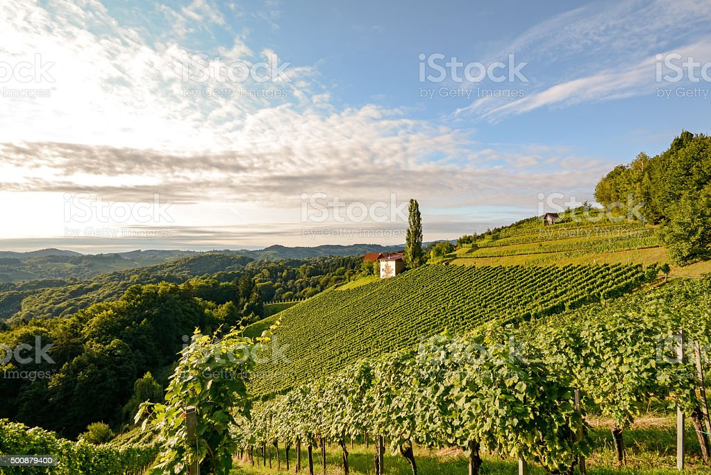 Landscape with wine grapes in the vineyard before harvest stock photo