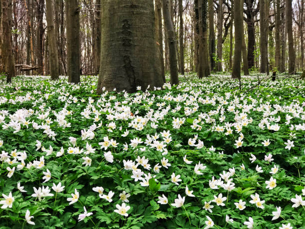 landscape with  wood anemones blooming in springtime in bertembos ( bertem forest), a natural landscape in vlaams brabant, flanders,belgium - anémone photos et images de collection