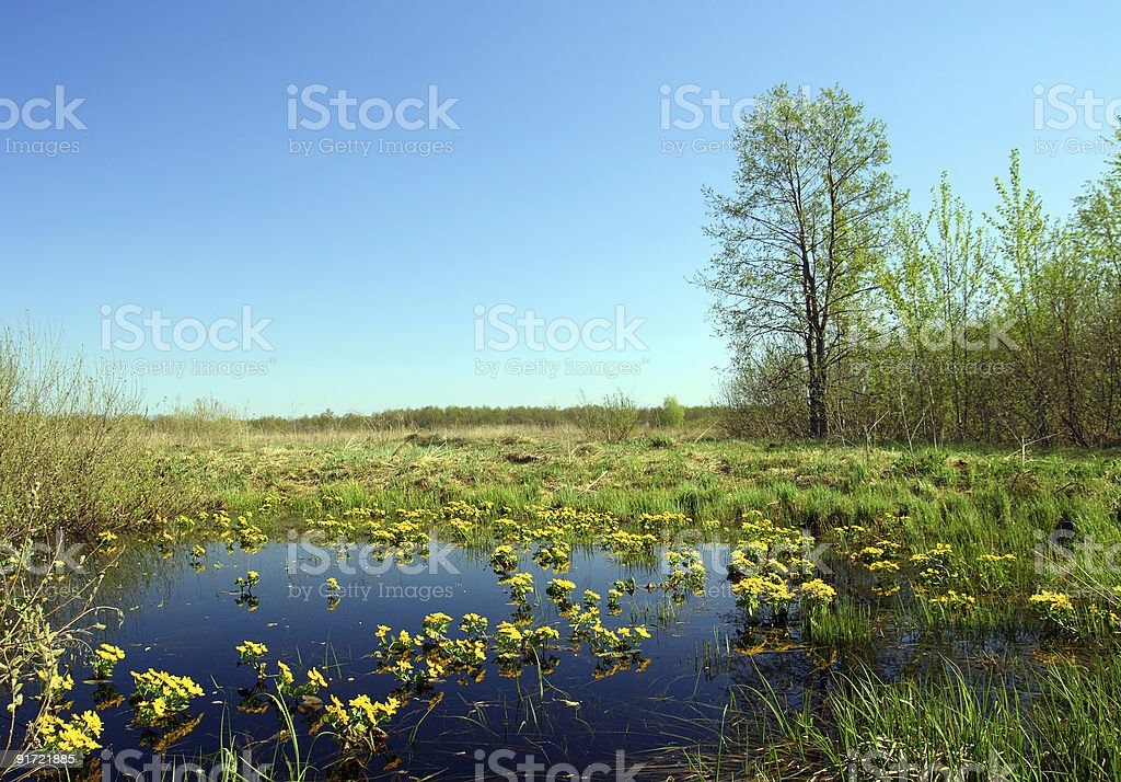 landscape with yellow flowers on bog royalty-free stock photo