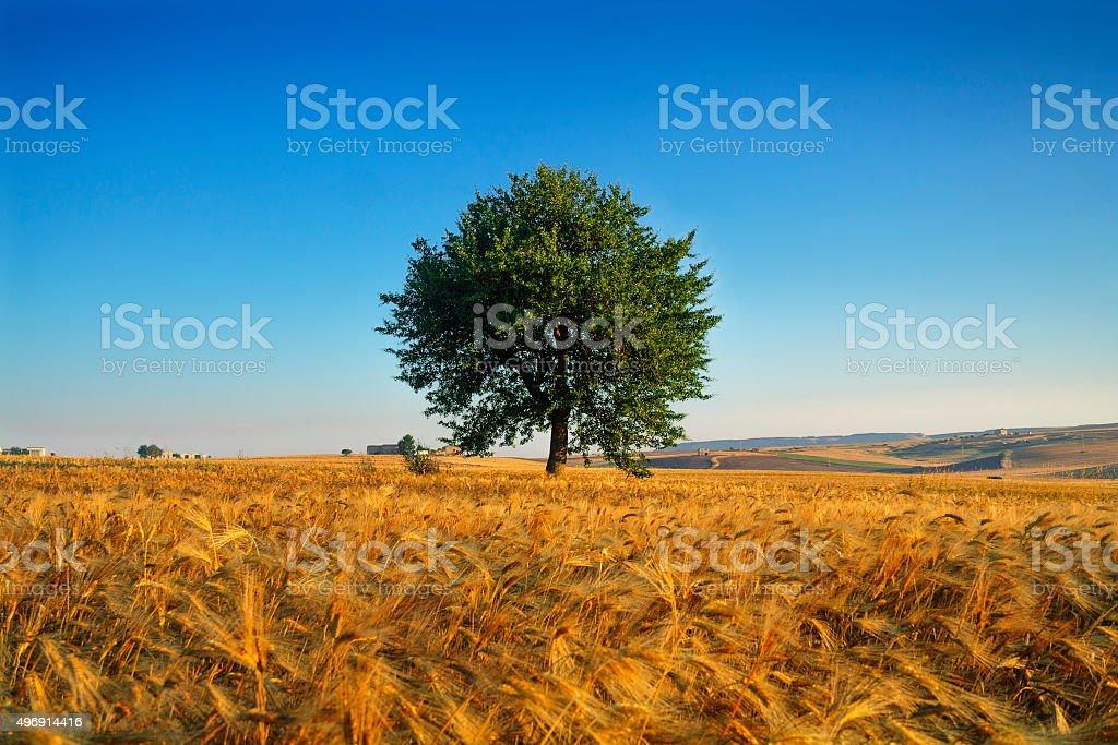 SUMMER LANDSCAPE.Between Puglia and Basilicata: corn field at dawn. (ITALY) stock photo