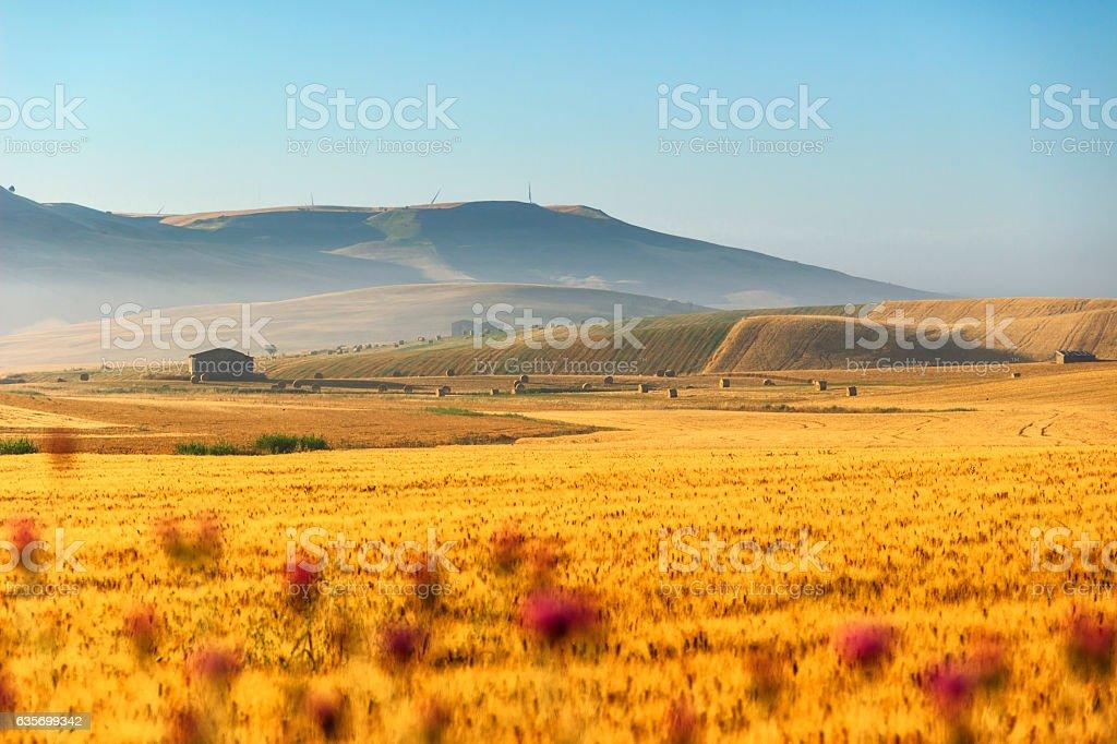 SUMMER LANDSCAPE.Between Puglia and Basilicata: corn field at dawn. (ITALY) royalty-free stock photo