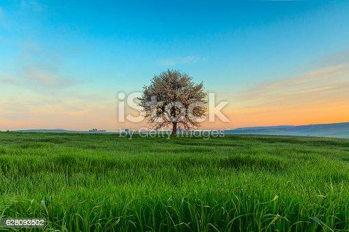 istock SPRING  LANDSCAPE.Blossoming tree at dawn. Between Apulia and Basilicata ITALY 628093502