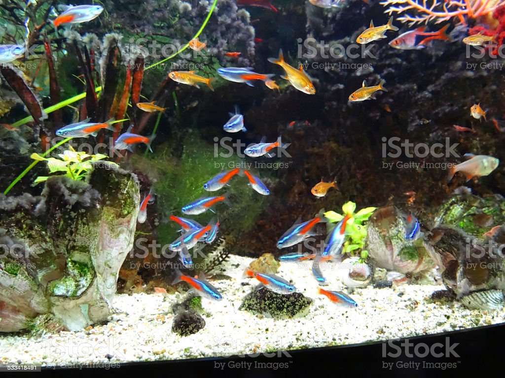 Landscaped freshwater tropical aquarium fishtank neontetra for Neon fish tank