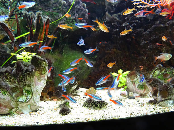Landscaped freshwater tropical aquarium fish-tank, Neon-tetra fish, guppies, harlequin-rasbora stock photo