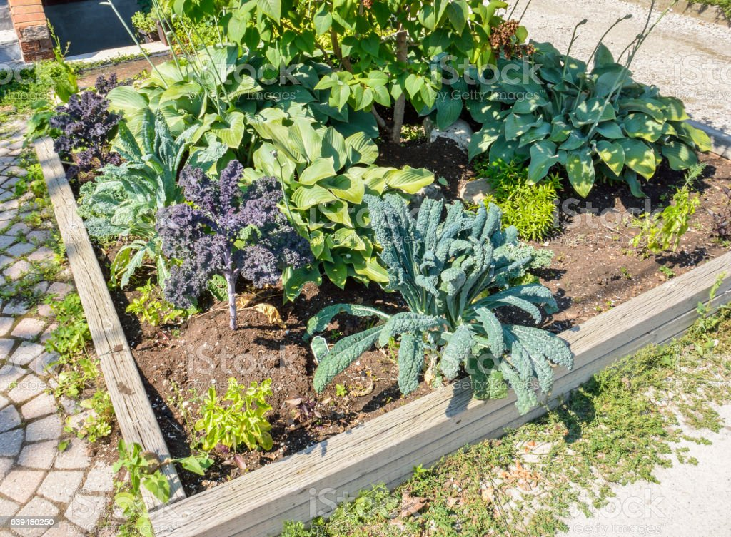 Landscaped vegetable garden with kale growing stock photo