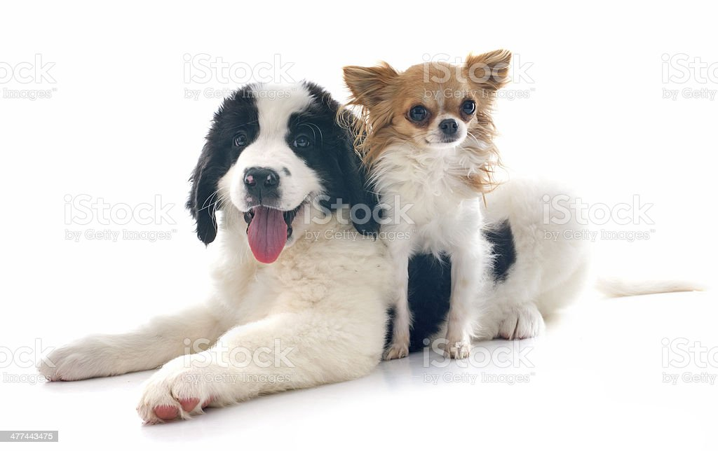 landseer puppy and chihuahua stock photo