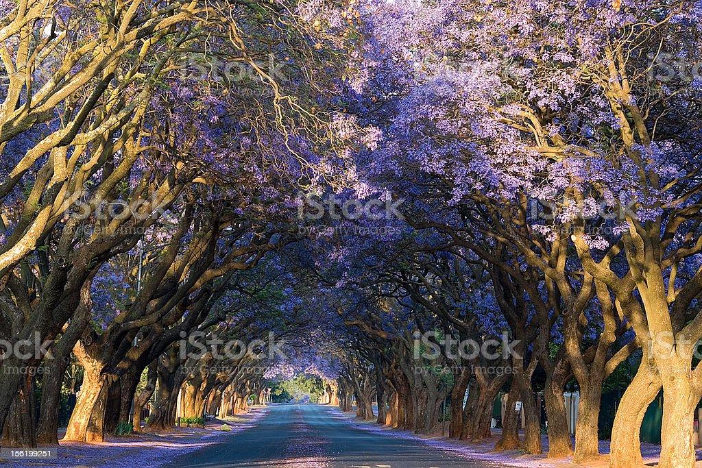 Lane of blooming jacaranda trees stock photo
