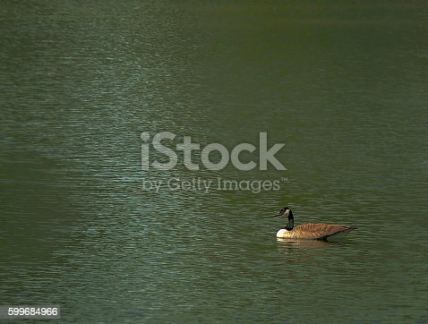 Langford Lake - Cnada Goose