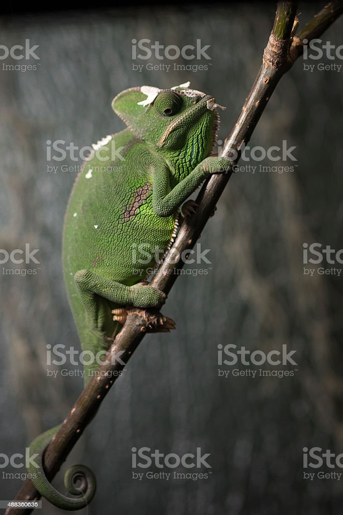 Lässig-Chamäleon – Foto
