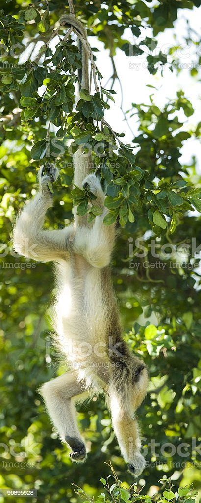 Langur hanging from its tail royalty-free stock photo