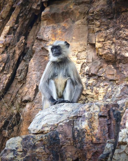 Langur Monkey Sitting On The Rock In Buddhist Temple , India At Dungeswari Hills , Bodhgaya , India langur stock pictures, royalty-free photos & images