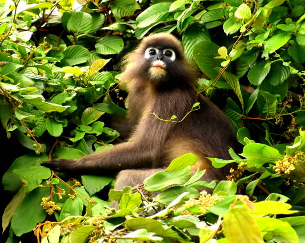 Langur or leaf monkey sitting in a tree looking up Langur or leaf monkey sitting in tree looking up langur stock pictures, royalty-free photos & images