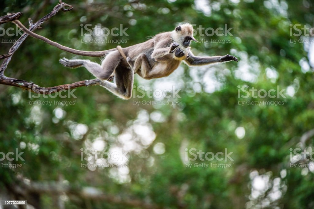 Langur with a cub jumping on a tree. Langur with a cub jumping on a tree. Tufted gray langur (Semnopithecus priam), also known as Madras gray langur, and Coromandel sacred langur. Activity Stock Photo