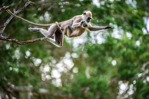 Langur With A Cub Jumping On A Tree Stock Photo - Download Image Now