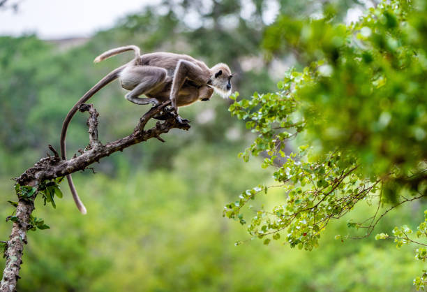 Langur with a cub jumping on a tree. Langur with a cub jumping on a tree. Tufted gray langur (Semnopithecus priam), also known as Madras gray langur, and Coromandel sacred langur. tufted gray langur stock pictures, royalty-free photos & images