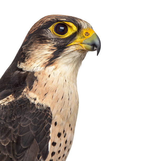 lanner falcon - falco biarmicus (7 years old) - falcon bird stock photos and pictures