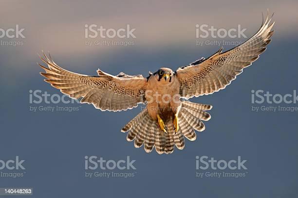 Lanner falcon landing picture id140448263?b=1&k=6&m=140448263&s=612x612&h=nq j2 8qsgtlcle6idlrazuv4dflsajijvcwpyymszu=