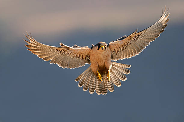 lanner falcon landing - falcon bird stock photos and pictures