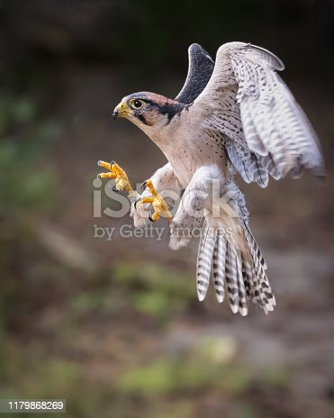 Lanner falcon landing.