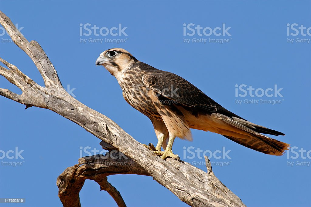 Lanner falcon royalty-free stock photo