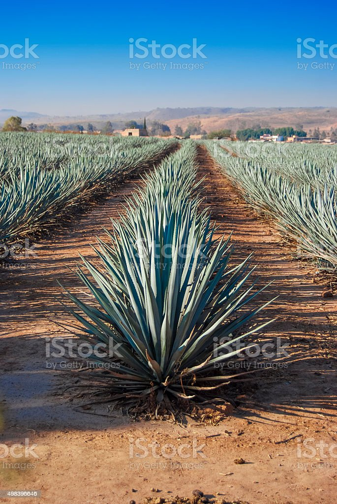 Lanscape tequila guadalajara stock photo