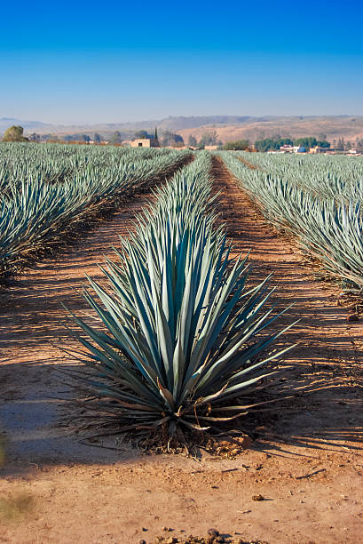 lanscape tequila guadalajara - mezcal fotografías e imágenes de stock