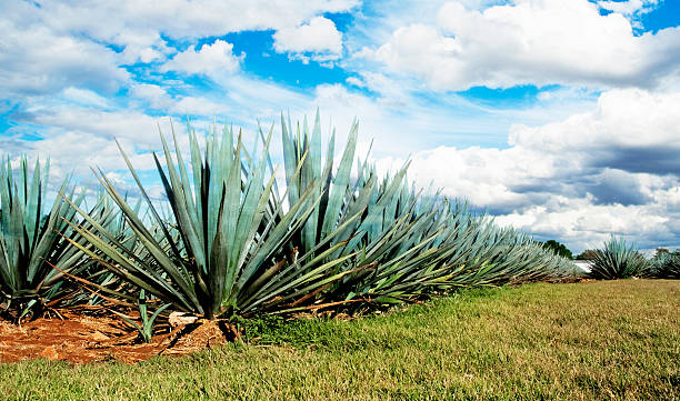 Lanscape tequila mexico stock photo