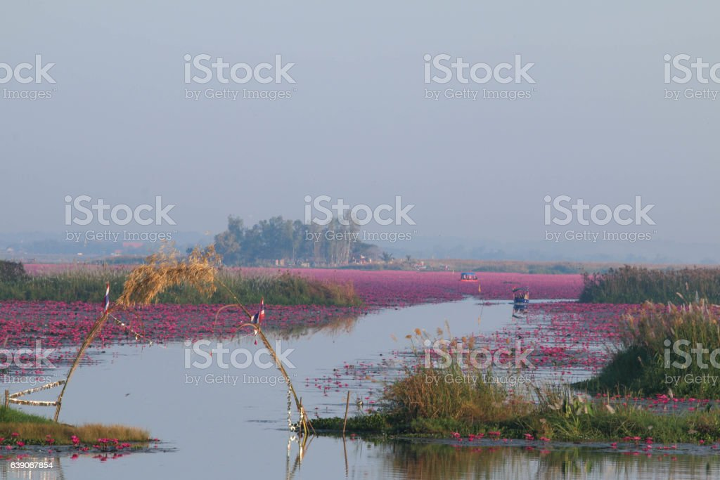 Lanscape view of red lotus sea, udon thani, Thailand. stock photo