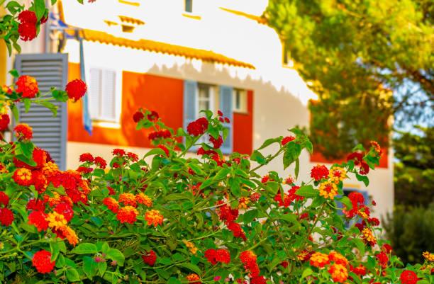 wandelröschen busch in voller blüte in palau (sardinien, italien). - palau sardinien stock-fotos und bilder