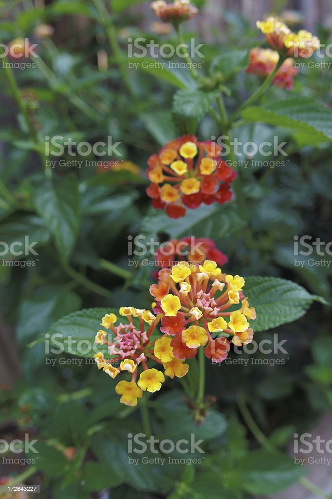 Lantana flower cluster stock photo
