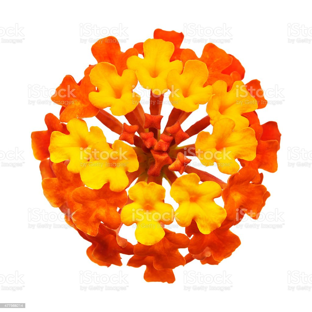 Lantana flower head isolated white stock photo