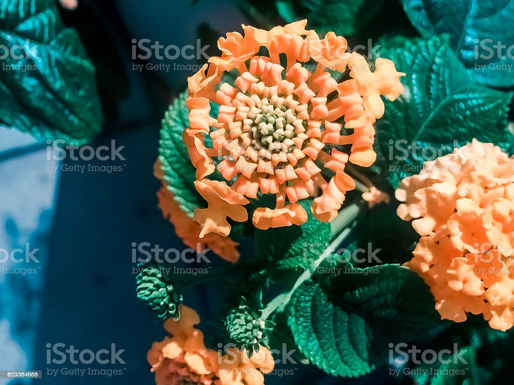 lantana flower in yellow color stock photo